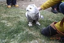 Záchrana sovice sněžní v Bohumíně.