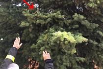 Mrštný leguán přebíhal či doslova plachtil po vzrostlém smrku nahoru a dolů a zprvu nepomohly ani odchytové sítě, ani odchytová chapadla.Hasiči si museli dát pozor na své ruce v rukavicích, ale hlavně na obličej, protože hrozilo poranění.