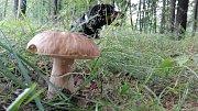 Suchohřiby nalezené 12. 7. 2018 v lese mezi Havířovem a Orlovou.