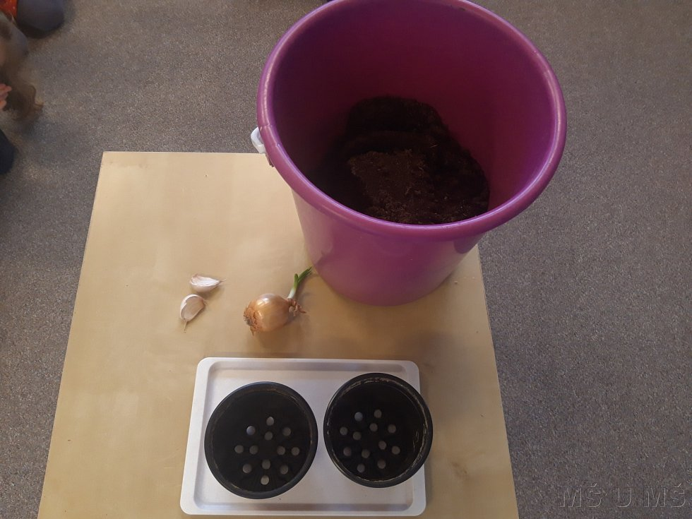 Sázení česneku a cibulí.