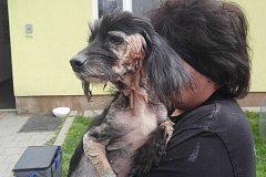 Zubožená fenka čínského chocholatého psa.