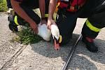 Labutí samec na rybníce Větrov v Petrovicích se po několika dnech dočkal toho, že mu lidé odstranili cizí předmět, který mu z krku visel kolem hlavy.