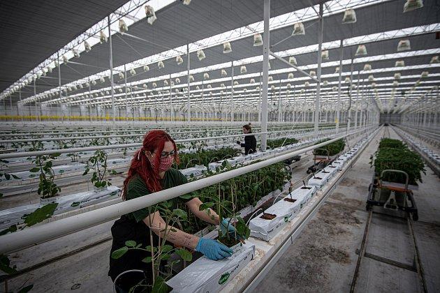 Zaměstnanci farmy Bezdínek vysázejí za směnu tisíce rostlinek oválných cherry rajčátek druhu Hranáček, 14.ledna 2021vDolní Lutyni.