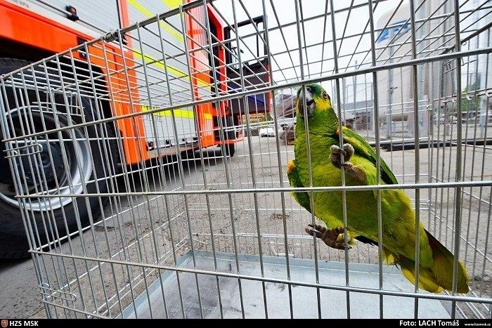 O netradiční zpestření páteční směny zaměstnanců strojírenské firmy, která se v Petřvaldu na Karvinsku zabývá zpracováním plechů, se postaral jak nádherně zbarvený papoušek amazoňan.