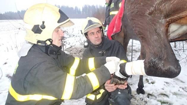 Profesionální hasiči z Karviné vyprošťovali koně, který uvízl v asfaltové štěrbině.