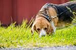 Venčení psa ve městě. Snímek pořízen 29.dubna 2017
