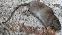 Potkan obecný.