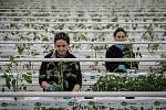 Zaměstnanci farmy Bezdínek vysázejí za směnu tisíce rostlinek oválných cherry rajčátek druhu Hranáček.