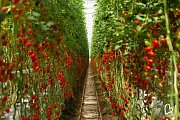 Na farmě Bezdínek začala sklizeň okurek a rajčat.