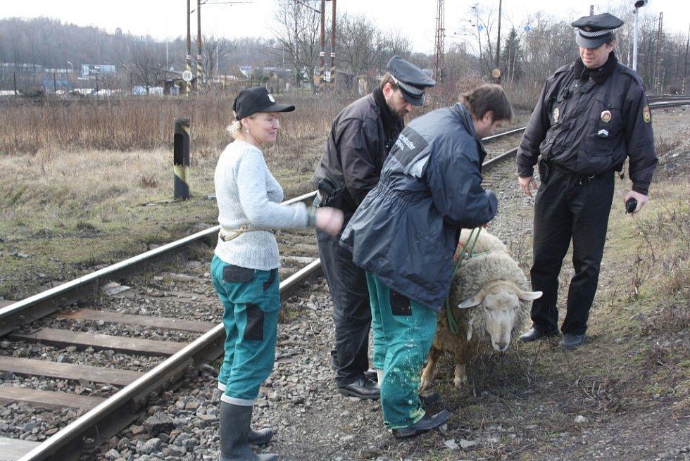 Železniční dopravu v Havířově ohrozil beran na útěku.