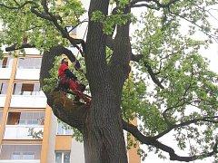 Strom v péči zkušených arboretistů pod vedením Lukáše Olivy.