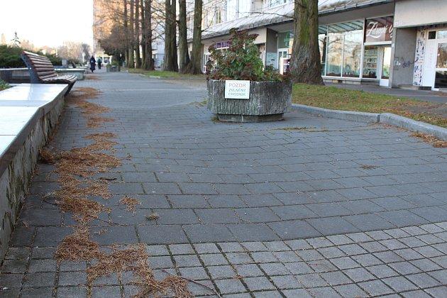 Kořeny ojedinělého stromořadí čínských metasekvojí vcentru Havířova poškozuje chodník.
