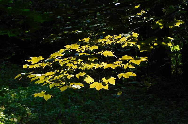 Listy se pomalu barví do podzimních barev.