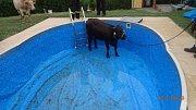 Záchrana krávy z bazénu v Orlové.