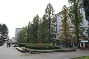 Stromořadí metasekvoje čínské v centru Havířova.