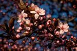 Sakura - strom, který zdobí i několik prostranství v centru Karviné.