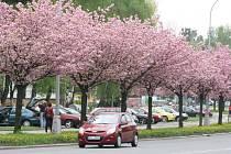 Hlasující v celorepublikové anketě Alej roku 2018 rozhodli o tom, že karvinská sakurová alej je nejkrásnější v Moravskoslezském kraji.