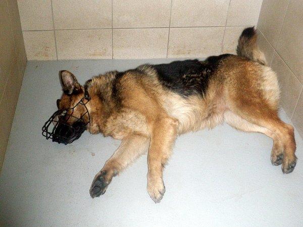 Fena německého ovčáka, která vsadech zabíjela srny. Na snímku je po uspání při odchytu.
