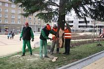Stavění vánočních stromů v Havířově. Jedle na náměstí TGM na Šumbarku.