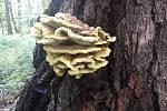 Pestrá škála v orlovském lese. Sbírat se dá i sírovec žlutooranžový.