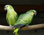 Takto vypadá uprchlá dvojice papouška druhu amazoňan modročelý.