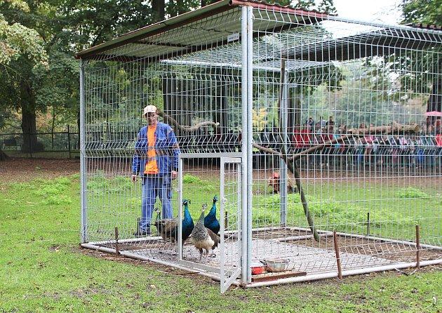 Karvinští pávi vyšli po několika týdnech zaklimatizační voliéry do volných prostor místního zoo koutku.