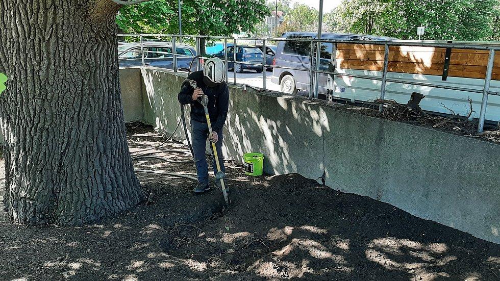 Odborná firma začala s revitalizací památného stromu v centru Karviné, na parkovišti pod OD Prior. Květen 2021.