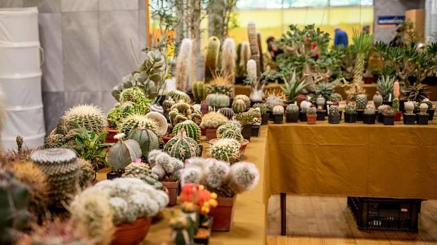 Výstava kaktusů a sukulentů v Domě dětí a mládeže, 20. června 2020 v Orlové.