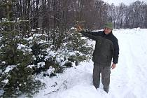 Jan Adamek ukazuje vánoční stromky, které chrání bažanty před dravci