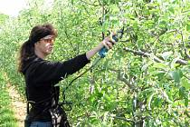 Pracovnice životických sadů zastříhává jabloně.