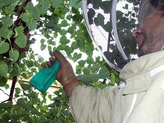 Dobrovolný hasič stříká na roj postřik, který včely okamžitě usmrcuje.