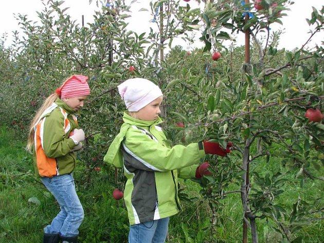 Na sklizni jablek se podílejí také děti.