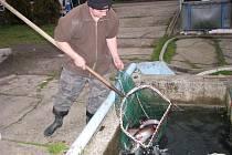 V sádkách pod hrází Žermanické přehrady mají ryby k dispozici průtočnou vodu.