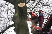 Až na 320 let se odhaduje stáří druhého nejstaršího stromu v orlovském Zámeckém parku. Ořez větví má jasan zachránit před vyvrácením.