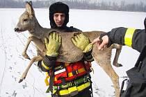 Srnku uvízlou v ledu v Záblatském rybníku museli ve středu před polednem zachraňovat profesionální hasiči z Bohumína.