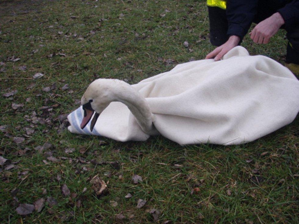 Zachráněná labuť