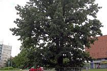 Památný dub na parkovišti v Karviné