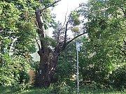 Památný strom v Havířově, pozůstatek někdejší Císařské cesty