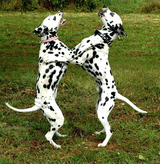 Dalmatini