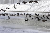 U hraničního přechodu do Polska v Českém Těšíně můžeme celou zimu pozorovat hejno divokých kachen, labutě i divoké husy.