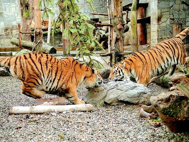 Tygří bratři míří do Německa.