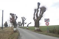 Vzrostlé lípy lemují cestu z Radkova do Dubové už téměř dvě stě let.