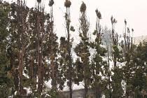 Ohořelé túje na kravařské zahradě. Je to prý stará tradiční metoda dezinfekce, používaná už našimi dědečky. Prostě se ke kořenům stromů nebo keřů sype popel. Musí ale jít výhradně o popel z hoření dřeva, jinak je vše zbytečné.