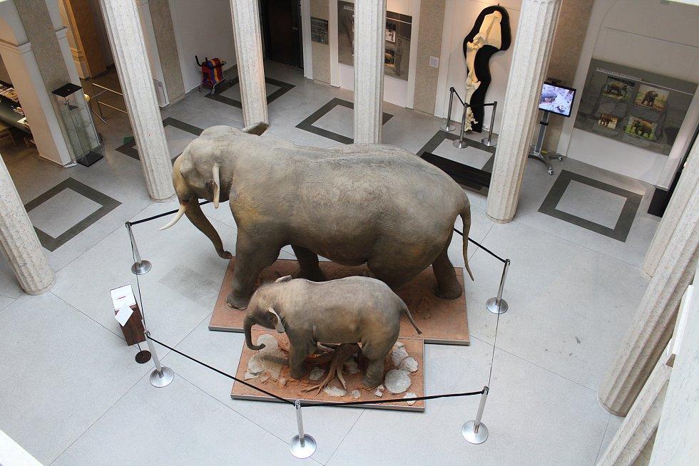 Preparát slona indického Calvina a jeho mláděte Sumitry z ostravské zoo jsou k vidění ve Slezském zemském muzeu.