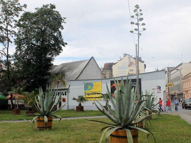 Do neuvěřitelné výše vykvetla jedna z rostlin v sousedství restaurace Kartáč. Jedná se o agáve, která přirozeně roste zejména v Mexiku, ale nalézt ji lze na celém americkém kontinentu.