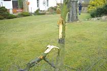 Tento mladý stromek přišel jen o větve, ale i tak je jeho osud nejspíše zpečetěn. Jiné stromy poslal vandal k zemi úplně.