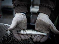 První z mnoha výsadeb uskutečnili rybáři v pátek 7. října ráno u Hlučínského jezera. Postupně do něj vysadili amura bílého a candáta obecného.