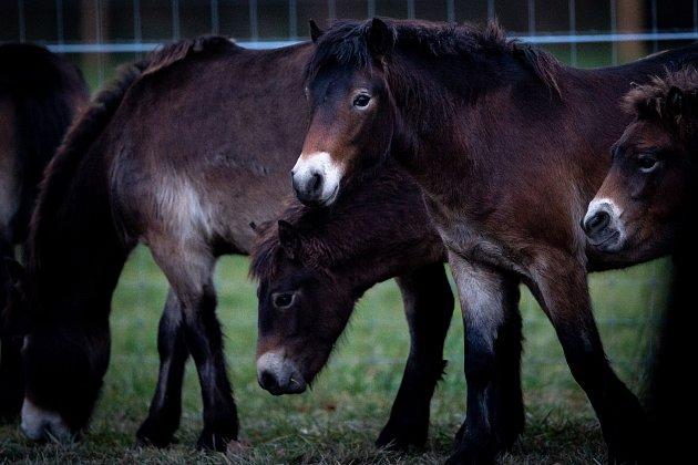 Vypuštění exmoorští pony do ohrady následně budou vypuštěni do téměř padesátihektarové volné krajiny, 22.listopadu 2019vKozminích.