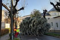 Vánoční stromy městu darovala Obchodní akademie Opava.