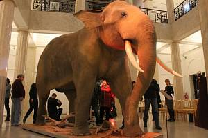 Slezské zemské muzeum v Opavě se téměř po měsíci a půl dočkalo. Po tuto dobu totiž v jeho Historické výstavní budově pracovali členové preparátorské firmy Miloše Maluchy. Jejich úkolem bylo vytvořit preparát slona indického.